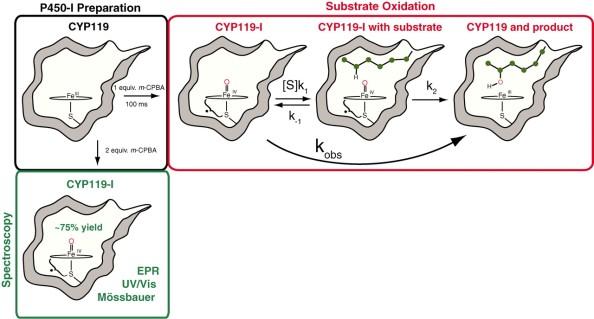 citocrom P450