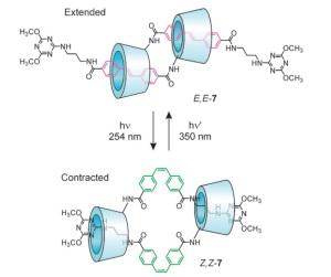 Figura 2. La llum làser em permet passar de l'estructura contractada a l'estesa generant un múscul molecular