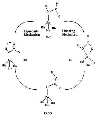 Figura 2. Els dos mecanismes possibles en la Anhidrasa Carbònica.